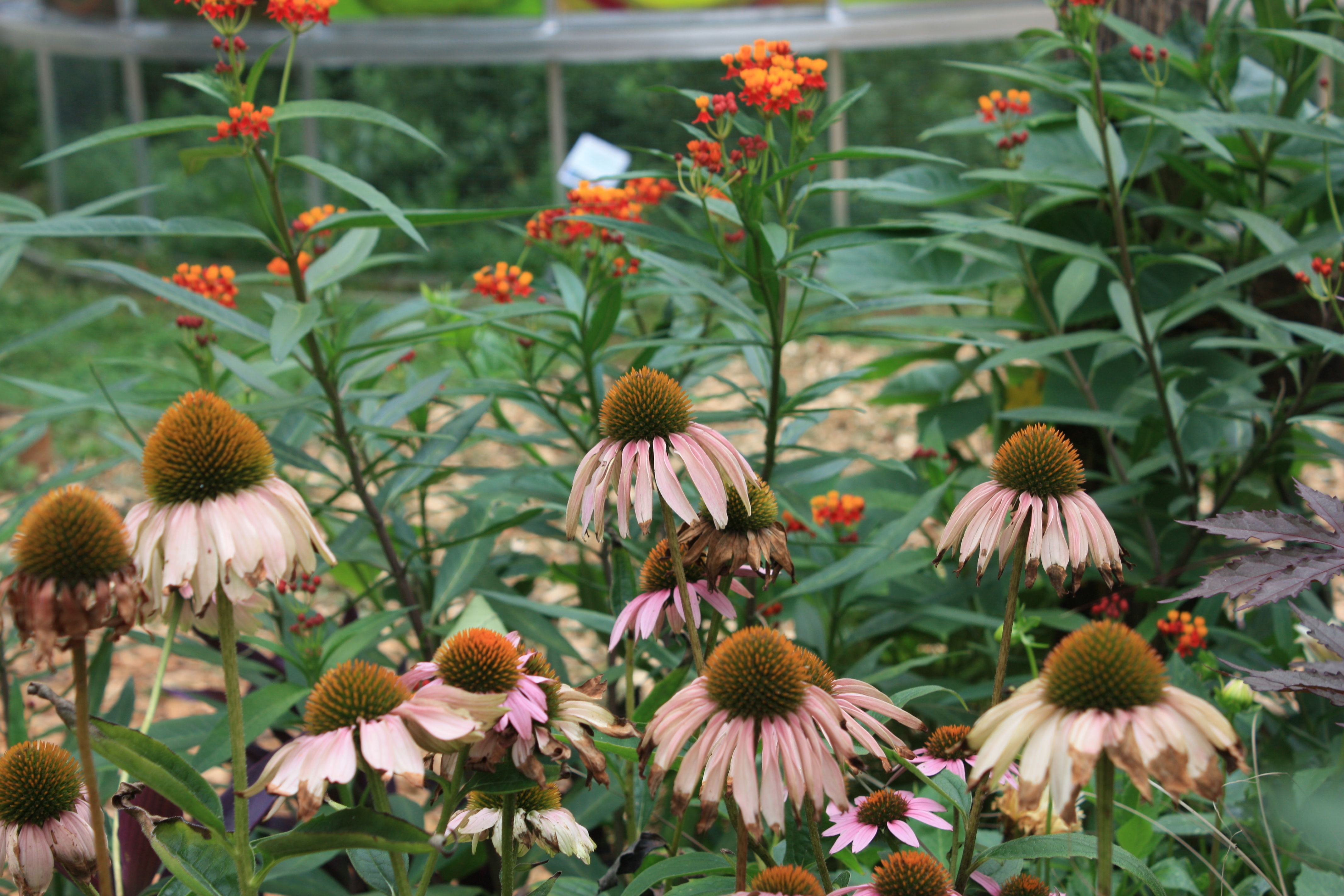 Coneflowers and tropical milkweed | Photo: Nicole Juday