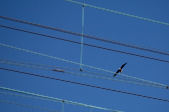 Bird on the wire: a bald eagle circles over the Amtrak and Septa catenary wires at Girard Avenue | Photo: Bradley Maule