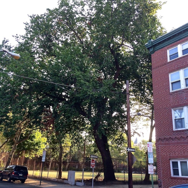 Huge American Elm (Ulmus Americana) in the southwest corner of Starr Gardens at 7th and Rodman Streets | Photo: Dennis McGlade