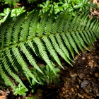 Weeping Male Fern