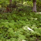Fern grove in the wooded area