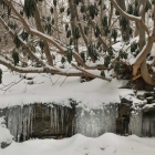 Wissahickon symbiosis: schist, rhododendron, icicles