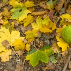 Osage orange and fallen leaves
