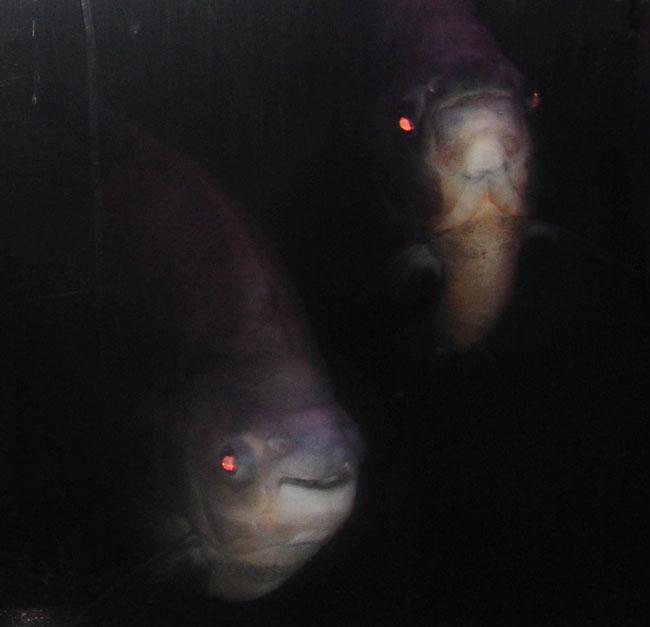 Large fish | Photo: Joseph G. Brin