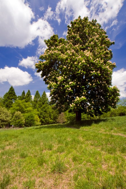 A Yellow Buckeye tree stands proudly atop a meadow   Photo: Bradley Maule