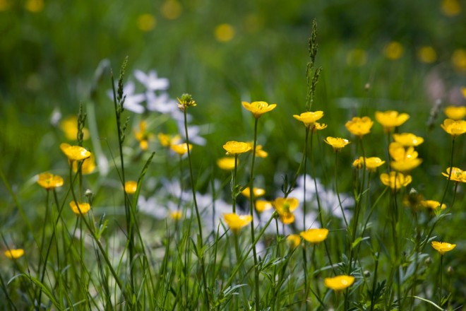Buttercups in bloom in the wildflower meadow | Photo: Bradley Maule