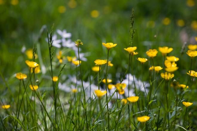 Buttercups in bloom in the wildflower meadow   Photo: Bradley Maule