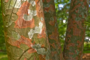 Natural woodland camo: Laura Barnes loved textured barks like those of the Stewartia and this Lacebark Pine   Photo: Bradley Maule
