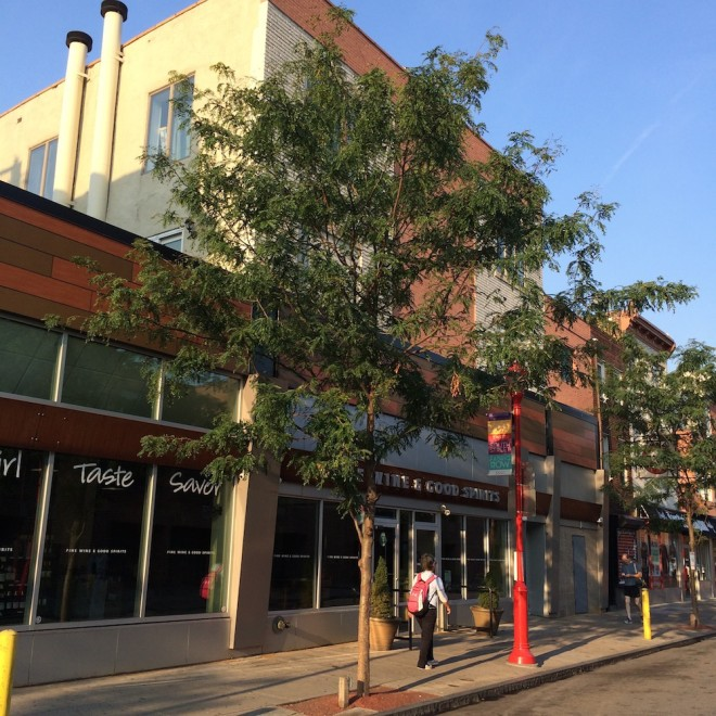 Healthy Honeylocust trees (Gleditsia triancanthos) on South Street | Photo: Dennis McGlade