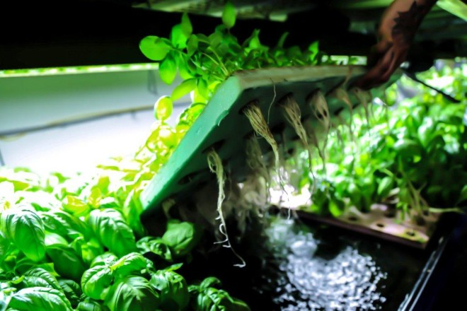 Fresh basil, hydroponically grown."